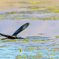 White Face Ibis In Flight 2 by Rick Mosher