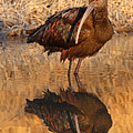 White-faced Ibis Reflecting On Late Spring Morning by Max Allen