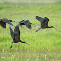 White-faced Ibis Rising, No. 2 by Belinda Greb