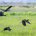 White-faced Ibis Rising, No. 3 by Belinda Greb
