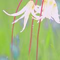 White Fawn Lilies In The Rain by Jill Greenaway