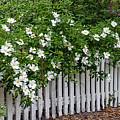 White Picket Fence by Linda Vodzak