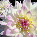 White Floral Art Bright Dahlia Flowers Baslee Troutman by Baslee Troutman