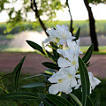 White Flowe by EmotionalCoaching