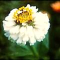 White Flower by Debra Lynch