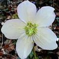 White Flower by Noe Petillion
