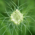 White Flower Spidery Leaves by Michelle Himes