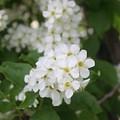 White Flower by Susan Pedrini