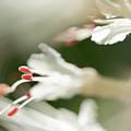 White Bottlebrush Buckeye by Michelle Himes
