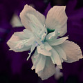 White Flower W/purple Background by Jimi Bush