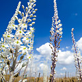 White Flowering Sea Squill On A Blue Sky by Alon Meir