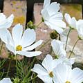 White Flowers Against Bricks by Lynn Hansen