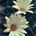 White Flowers by Ignacio Leal Orozco