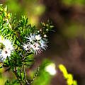 White Flowers Of Kunzea Ambigua by Miroslava Jurcik