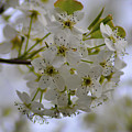 White Flowers On A Tree by Bill Cannon