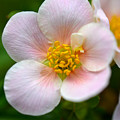 White Flowers With Pink And Yellow by Reva Steenbergen