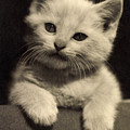 White Fluffy Kitten by German School