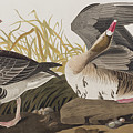 White-fronted Goose by John James Audubon