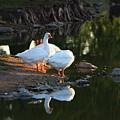 White Geese In A Park With Water Reflection by Robert D  Brozek