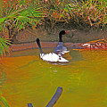 White, Geese, On, Pond by David Frederick