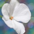 Winter White Geranium  by Dorothy Lee