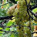 White Grapes by Jani Freimann