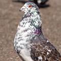 White-gray Pigeon Profile by Jacek Wojnarowski