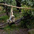 White Handed Gibbon 1 by Michael Gordon