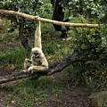 White Handed Gibbon 2 by Michael Gordon