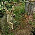 White Handed Gibbon 3 by Michael Gordon
