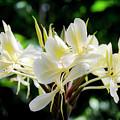 White Hawaiian Flowers by Daniel Murphy