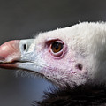 White-headed Vulture Portrait by Aivar Mikko