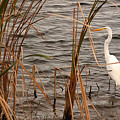 White Heron by Mandy Wiltse