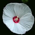 White Hibisci #18 by EGiclee Digital Prints