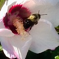 White Hibiscus Bloom With Bumble Bee by Debra Lynch