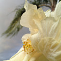 White Hibiscus  by Clay Cofer