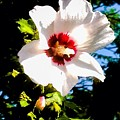 White Hibiscus High Above In Shadows by Debra Lynch