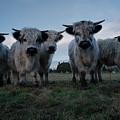 White High Park Cow Herd by Rawshutterbug