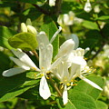 White Honeysuckle Blossoms by Peggy King