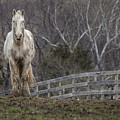White Horse And Fence by Karen Saunders
