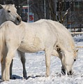 White Horses In The Snow  by Jaroslaw Grudzinski