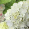 White Hydrangea At Rainy Garden In June, Japan by Eiko Tsuchiya