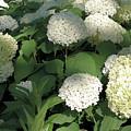 White Hydrangea Bush by Nancy Aurand-Humpf