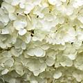 White Hydrangea by Kathleen Struckle