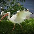White Ibis 2 by Jim Thompson