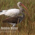 White Ibis 3457 by Captain Debbie Ritter