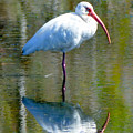 White Ibis And Reflection by Catherine Sherman