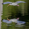 White Ibis And Reflection by Steve Samples