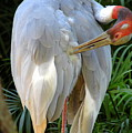 White Ibis At The Zoo by Teresa Stallings