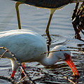 White Ibis Eating by Les Greenwood